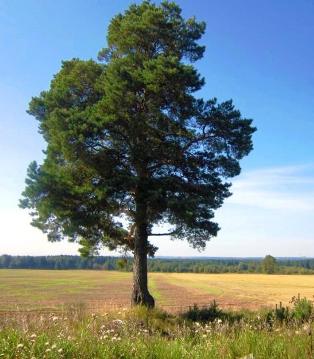 сосна памятник природы